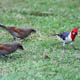 (2003) Red-crested Cardinal and two Bay-Winged Cowbirds