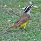 (2003) Great Kiskadee
