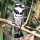 פרפור עקוד - Pied Kingfisher