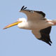 שקנאי לבן - Great White Pelican