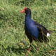 פוקקו - Pukeko - New Zealand Swamp Hen